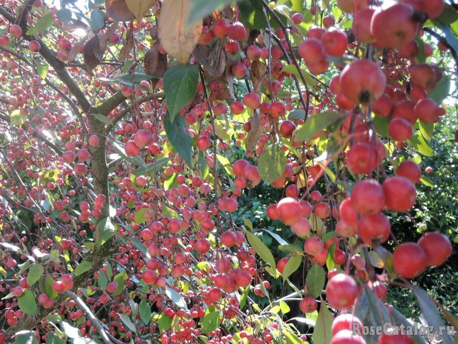 яблочки Нездвецкого