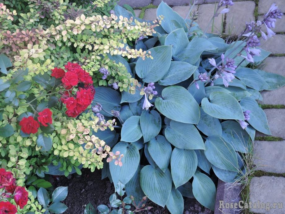 Хоста, роза и барбарис