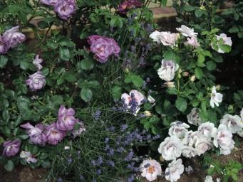 Лаванда и розы, приятный союз