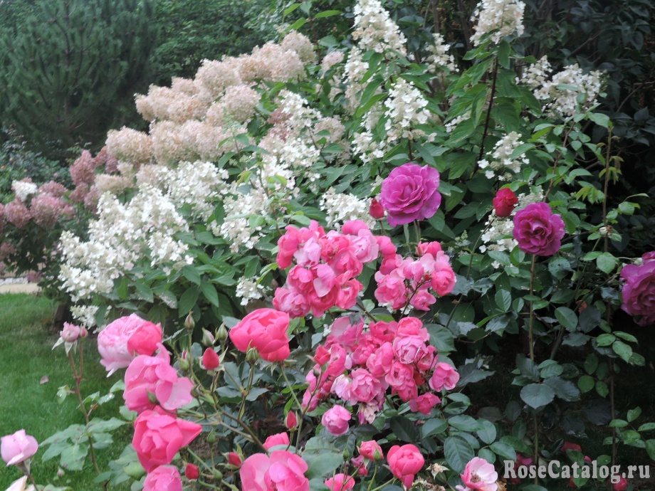 Пинк Леди Пинк Даймонд и розы