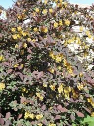 цветут барбарисы