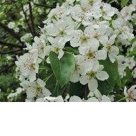 цветочки груши