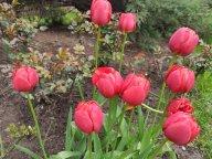 Поздние тюльпаны