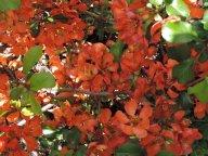 цветет айва японская