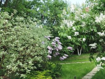 цветут дерены