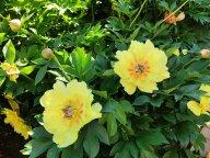 Пион Гарден Треже Paeonia Garden Treasure