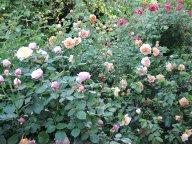 розы  David Austin