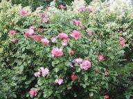 роза Дебора и КИУШУ