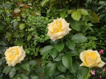 THE WAINWRIGHT ROSE