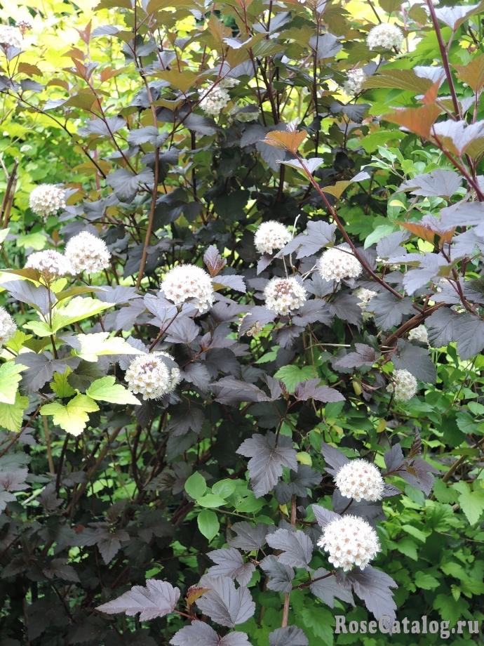Цветет пузыреплодник калинолистный Дьяболо