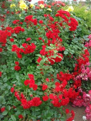 Роза скарлет тауэр