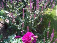 Розы и сальвия дубравная ( шалфей)
