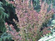 барбарис в цвету и спирея серая