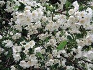 Цветение декоративной яблоньки  Саржента Тино