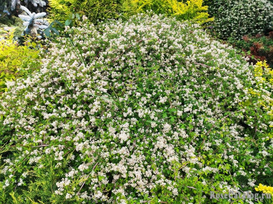 цветет Стефанандра