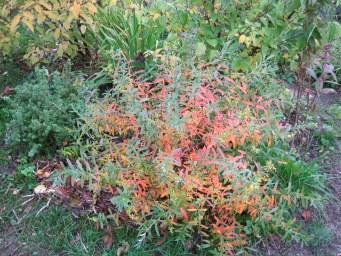 Зверобой кустарниковый осенью