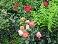 Gartenspass, неизвестная красная роза.