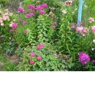 Rose de Resht- очень ароматная роза и флоксы