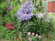 Колокольчик Prichards Variety, розы Lavender Ice, Marjorie Fair