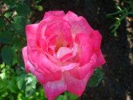 Rose Gaujard