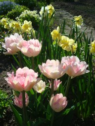 Малиновая роза, Yellow Cheerfulness
