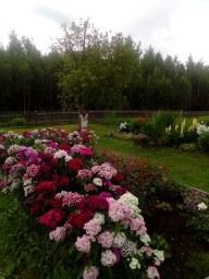 Красно-белый розарий до цветения роз