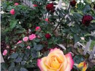 Полисадник в цвету.