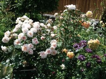 Crocus Rose и Schloss Eutin