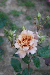 Julias rose